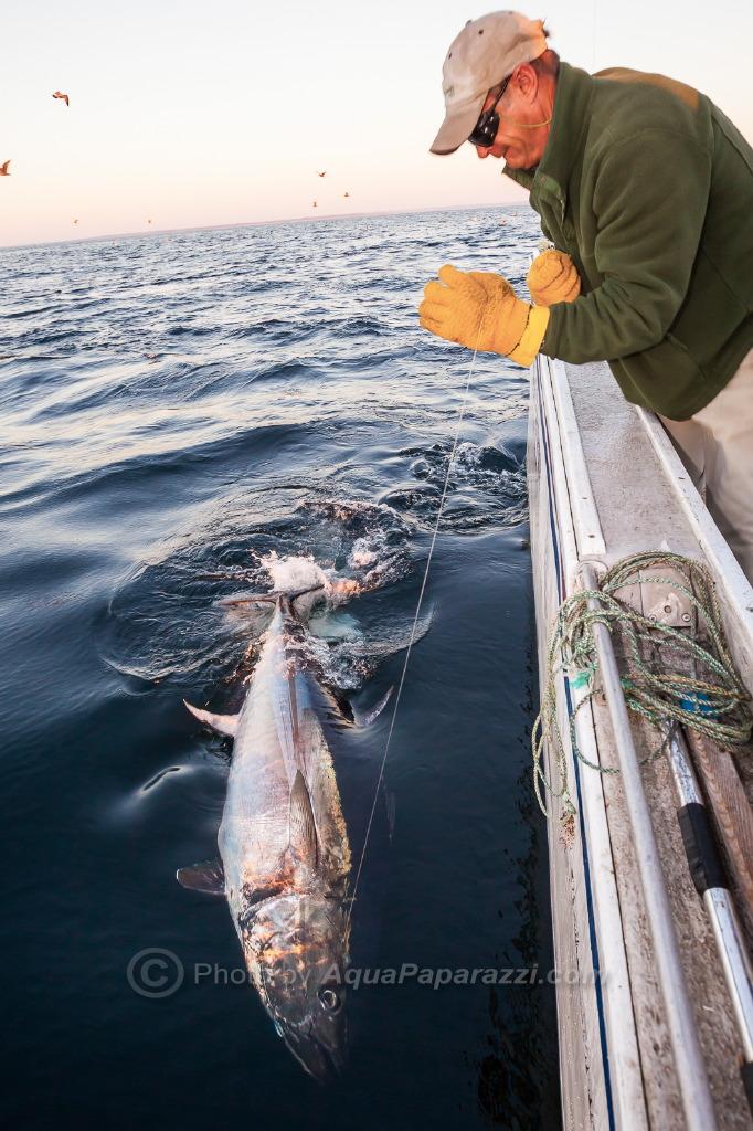 Brad wires Bluefin
