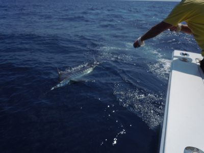 sailfish in the key west waters