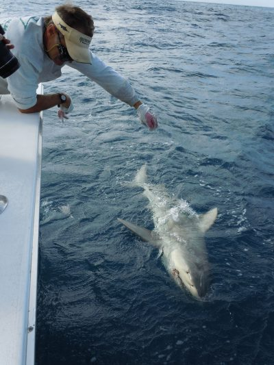 Shark along the side of the Southpaw fishing charter boat in Key West