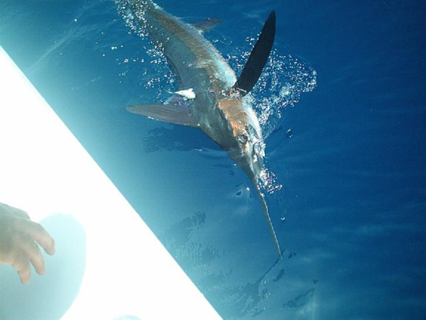 Marlin along the side of the Southpaw in Key West waters