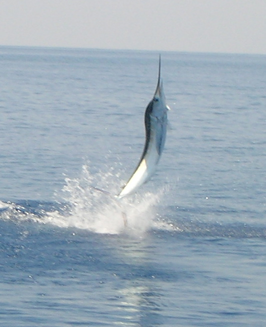 Nice marlin jumping out of the water