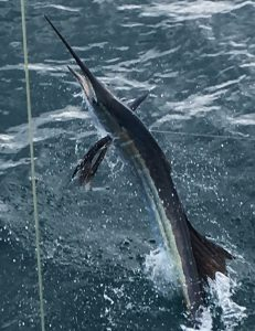 Close up sailfish jumping out of the water