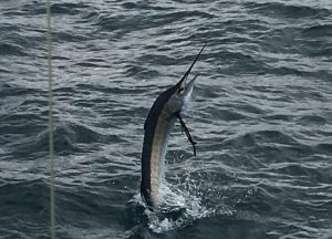 Close up sailfish from the Key West fishing charter